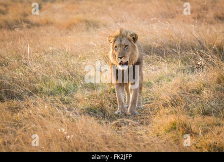 Male lion (Panthera leo) walking in long grass, Zarafa Camp, Selinda Reserve, Okavango Delta, northern Botswana - Stock Photo