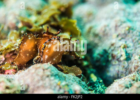 Couple of Sea hares. On the small rock in shallow water. Depth 3m. - Stock Photo