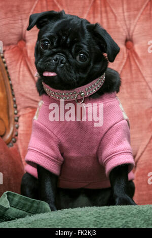 Small black pug puppy dog dressed up in pink knitted sweater jumper sticking out tongue sitting in velvet armchair - Stock Photo