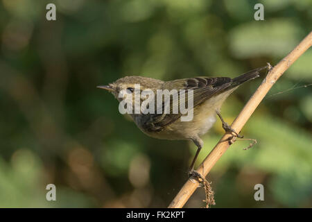 Hume's leaf warbler (Phylloscopus humei) at Thol Bird Sanctuary, Gujarat, India - Stock Photo