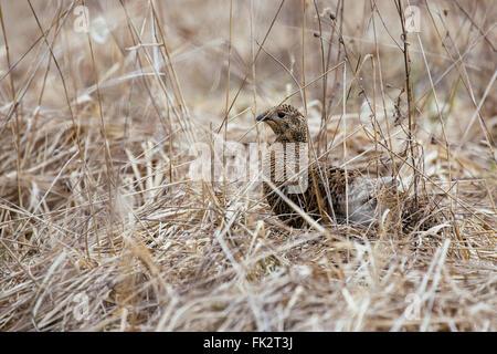 partridge on field (perdix perdix) - Stock Photo