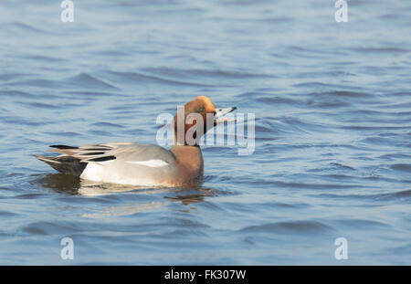 Male eurasian wigeon Anas penelope swimming on the watersurface, preening and spreads his wings. - Stock Photo