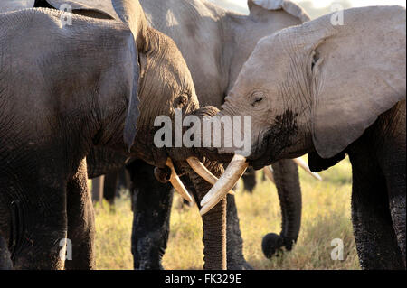 Playful and tenderly young Elephants, Loxodonta africana, in Amboseli National Park - Stock Photo