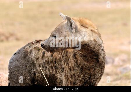 Spotted Hyena, Crocuta crocuta, in Amboseli - Stock Photo