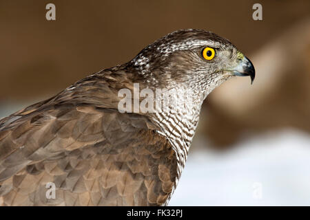 Goshawk (Accipiter gentilis), portrait, Tyrol, Austria - Stock Photo