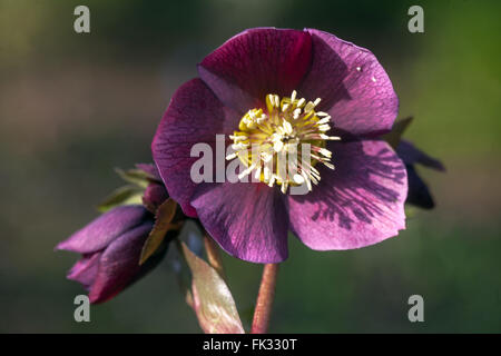 Lenten rose, Black Hellebore, Helleborus niger - Stock Photo