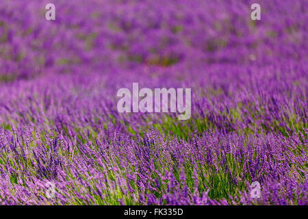 Abstract Blurred background of Blooming Purple Lavender Flowers Field in Provence, France - Stock Photo