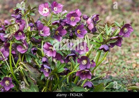 Lenten rose, Black Hellebore, Helleborus niger flower - Stock Photo