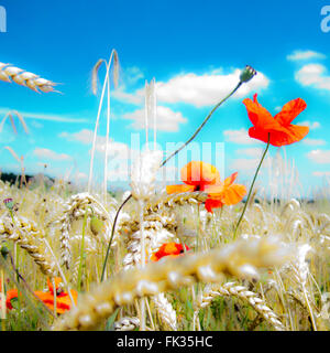 summer landscape and  blooming poppies in a field and blue sky - Stock Photo