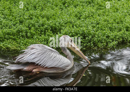 Pink-backed Pelican (Pelecanus rufescens) swimming in lake, native to Africa - Stock Photo