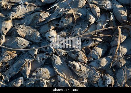 Dead tilapia, Salton Sea California USA - Stock Photo