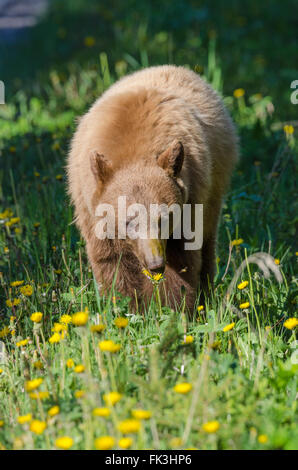 Brown-phase (or cinnamon) black bear eating dandelions by a road in Waterton Lakes National Park, Alberta, Canada. - Stock Photo