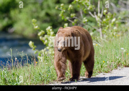 Brown-phase (or cinnamon) black bear walking by a road and river in Waterton Lakes National Park, Alberta, Canada. - Stock Photo