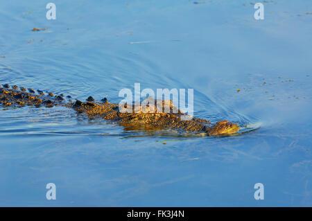 Saltwater Crocodile (Crocodylus porosus), Yellow Water Billabong, Kakadu National Park, Northern Territory, NT, - Stock Photo