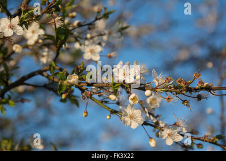 Tottenham Marshes, London, UK. 7th March 2016. UK Weather: Blackthorn blossom is a harbinger of spring on a bright, - Stock Photo