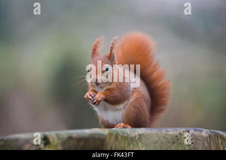 Red Squirrel; Sciurus vulgaris Single UK - Stock Photo