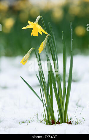 Daffodils under a fresh blanket of snow. Normanby, near Scunthorpe, North Lincolnshire, UK. March 2016. - Stock Photo