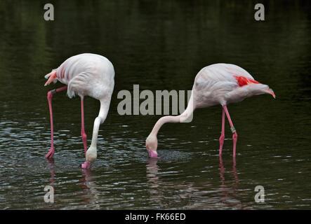 Greater Flamingos (phoenicopterus roseus) feeding - Stock Photo