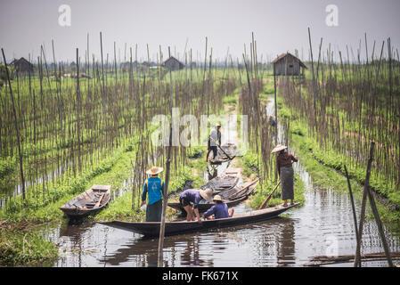 Floating Gardens, Inle Lake, Shan State, Myanmar (Burma), Asia - Stock Photo