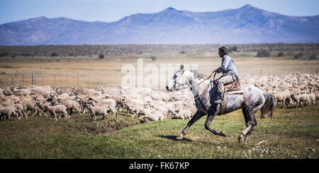 Gauchos riding horses to round up sheep, El Chalten, Patagonia, Argentina, South America - Stock Photo
