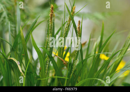 Wood sedge (Carex sylvatica). Flowering plant in the family Cyperaceae, growing in a British woodland - Stock Photo