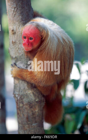 Bald uakari (red uakari monkey) (Cacajao calvus), conservation status vulnerable, Amazonas, Brazil, South America - Stock Photo