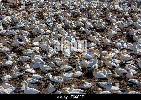 Cape gannet (Morus capensis), breeding colony, Lambert's Bay, South Africa, Africa - Stock Photo