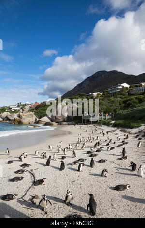African penguins (Spheniscus demersus) on Foxy Beach, Table Mountain National Park, Simon's Town, Cape Town, South - Stock Photo