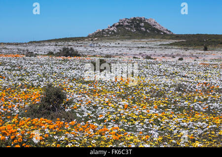 Spring wild flowers, Postberg section, West Coast National Park, Western Cape, South Africa, Africa - Stock Photo