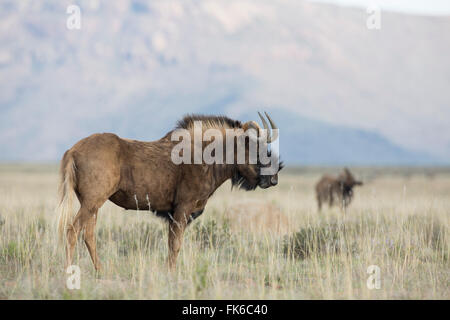 Black wildebeest (Connochaetes gnou), Mountain Zebra National Park, South Africa, Africa - Stock Photo