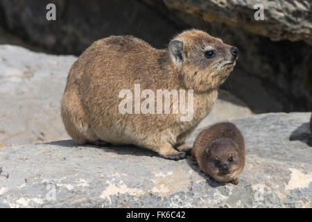 Rock hyrax (dassie) (Procavia capensis), with baby, De Hoop nature reserve, Western Cape, South Africa, Africa - Stock Photo