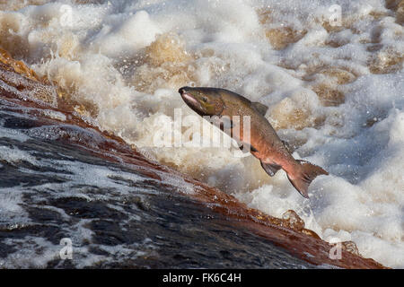 Atlantic salmon (Salmo salar) leaping on upstream migration, River Tyne, Hexham, Northumberland, England, United - Stock Photo