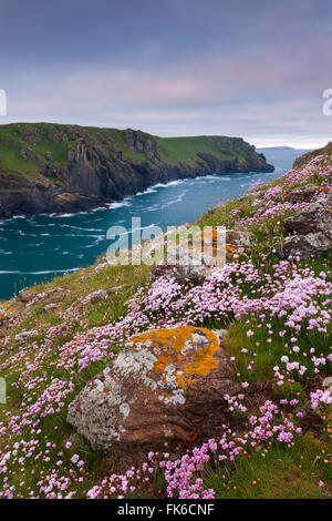 Sea pink wildflowers flowering on the cliff tops on The Rumps, North Cornwall, England, United Kingdom, Europe - Stock Photo