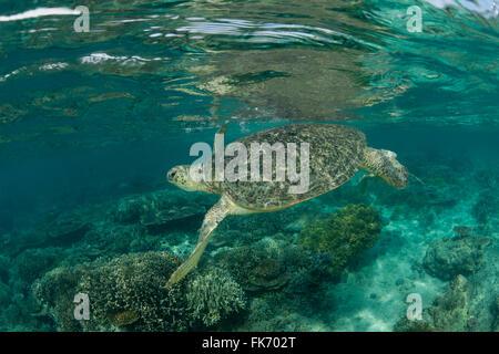 sea turtles okeefe timothy