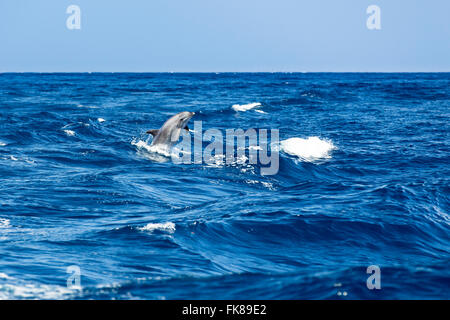 Bottlenose dolphin (Tursiops truncatus) jumping out of the water at Los Gigantes, Atlantic, Tenerife, Canary Islands, - Stock Photo