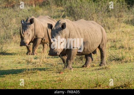 White Rhinoceroses (Ceratotherium simum), Soutpansberg, South Africa - Stock Photo