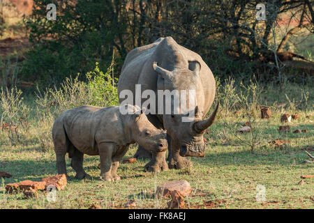 Young White Rhinoceros (Ceratotherium simum) with mother, Soutpansberg, South Africa - Stock Photo