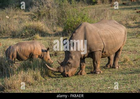 Grazing White Rhinoceroses (Ceratotherium simum), Soutpansberg, South Africa - Stock Photo