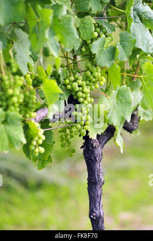 Detail of grape clusters in the wine industry in the countryside - Stock Photo