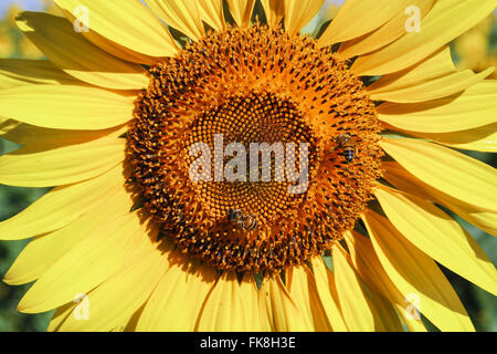 Detail of bees on sunflower - experimental cultivation in Agrarian Sciences Center - Stock Photo