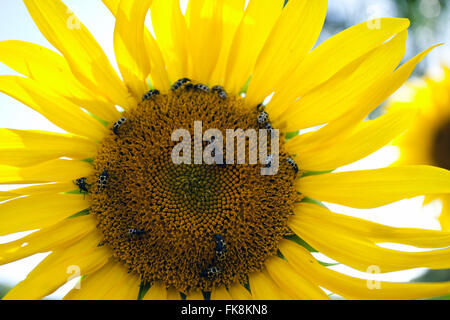 Detail of bees on sunflower in countryside - Stock Photo