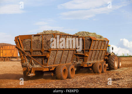Tractor hauling sugar cane after mechanical harvest in the countryside - Stock Photo