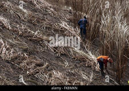 Cutters cane sugar - sugar plantation on the edge of AL-101 highway - Stock Photo