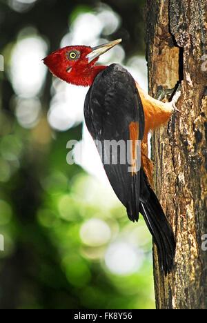 Pica-pau-de-plume - rubricollis Campephilus - male - Stock Photo