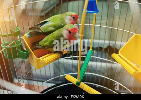 Rosy Faced Lovebird parrot in a cage - Stock Photo