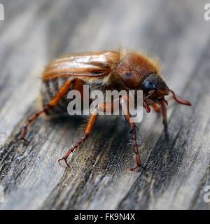 Macro shot of a Maybug on wood. - Stock Photo