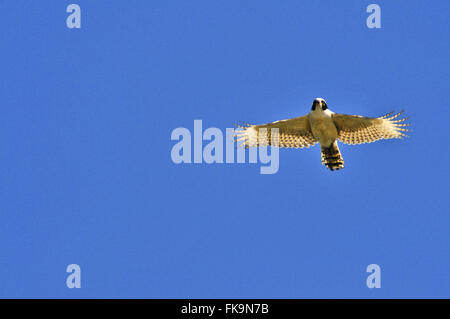 Gaviao called Acaua - Herpetotheres cachinnans - flying in the region of Rio Paraguay - Stock Photo