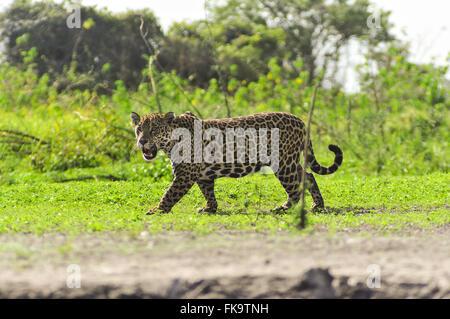 Jaguar - Panthera onca palustris - Stock Photo