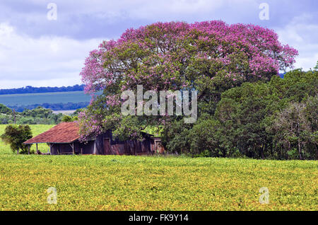 Monoculture fields - soy plantation - and farm in the background - Stock Photo