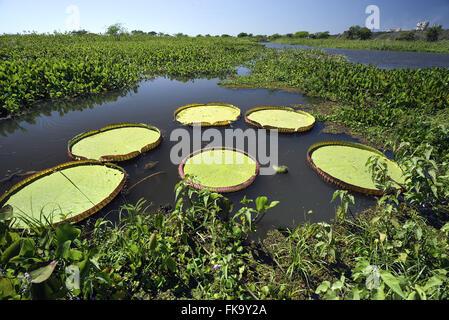 Water lilies in the river Paraguay - Stock Photo